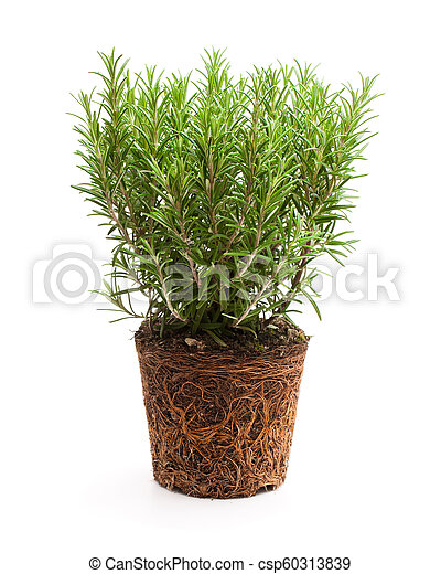 Rosemary plant with roots isolated on white background - csp60313839