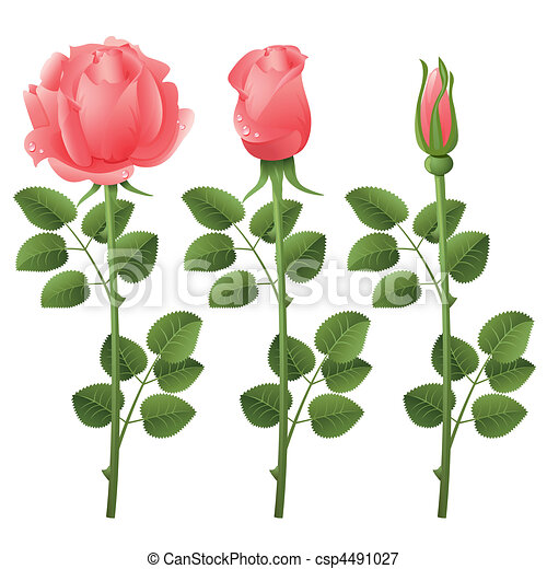 roses - csp4491027