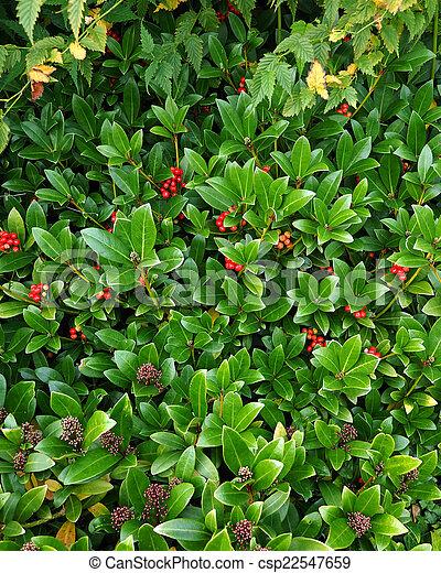 Rosolia skimmia japonica pianta skimmia for Skimmia pianta