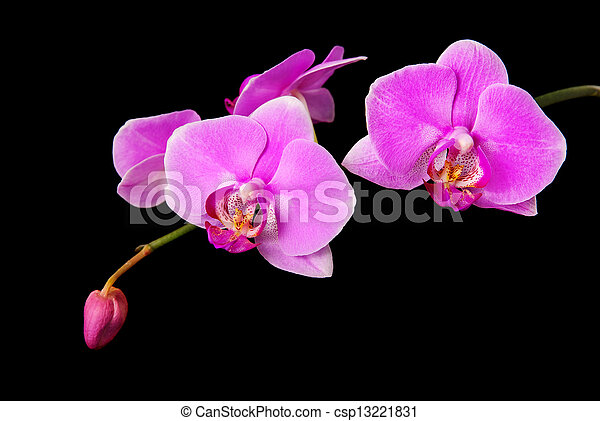 rosy beautiful orchid branch isolated on black background - csp13221831