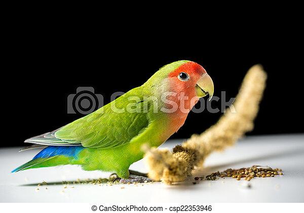 Rosy-faced lovebird - csp22353946