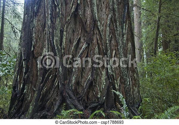 rothölzer, park., redwood, national - csp1788693