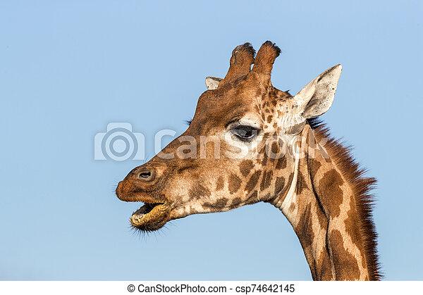 Rothschild's giraffe with open mouth - csp74642145