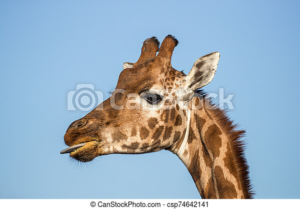 Rothschild's giraffe with tongue out - csp74642141