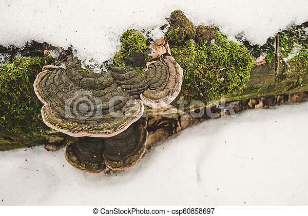 Rotten tree trunk with fungus and moss lying in the snow - csp60858697