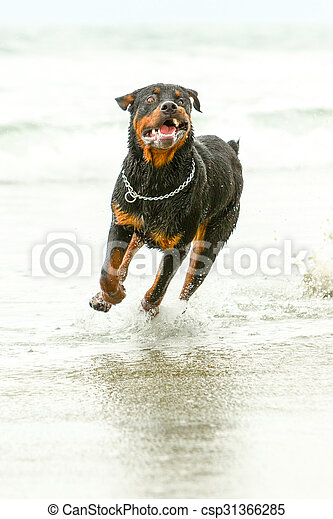 Rottweiler Dog In Motion Adult Rottweiler Dog Running On The Beach