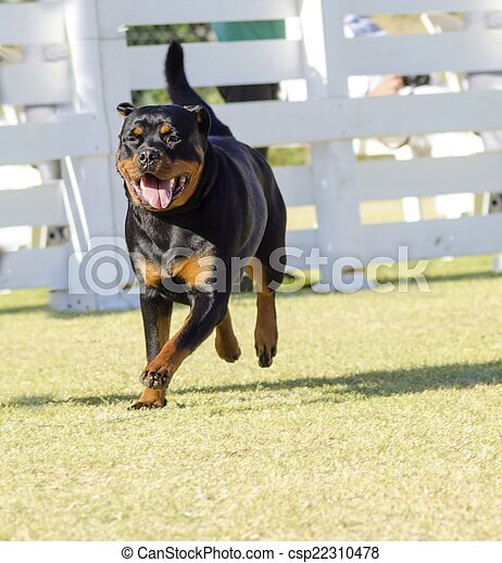 Rottweiler Dog A Portrait View Of A Healthy Robust And Proudly
