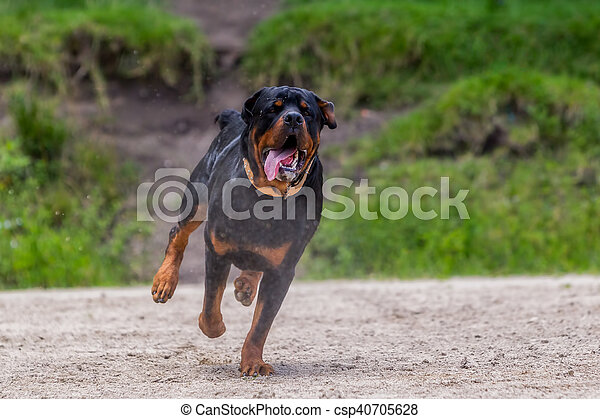 Funny Young Rottweiler Dog Running In The Rain