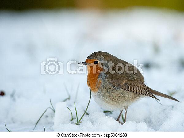 rouge-gorge, hiver, mignon - csp5064283