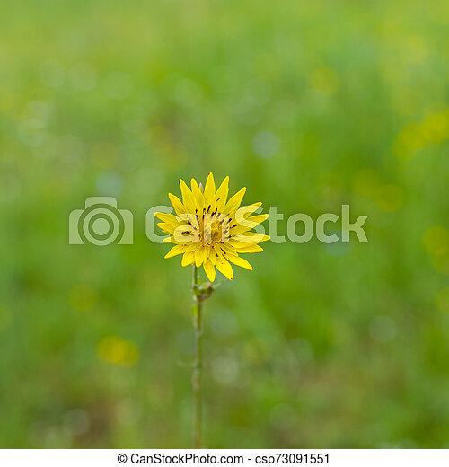 Rough hawksbeard flower in a wild summer field - csp73091551