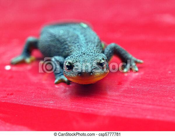Rough Skinned Newt      - csp5777781