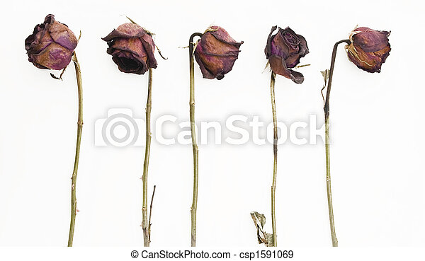 Row of 5 old dried red roses against a white background - csp1591069