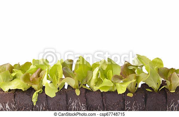 row of lettuce seedlings in dirt on white background - csp67748715