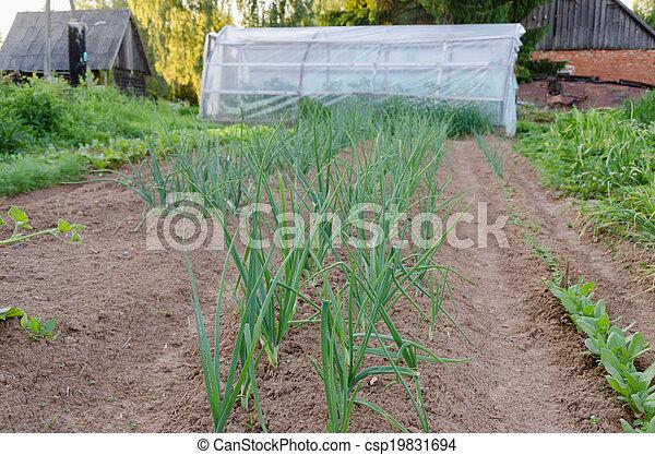 row of onions in the garden - csp19831694