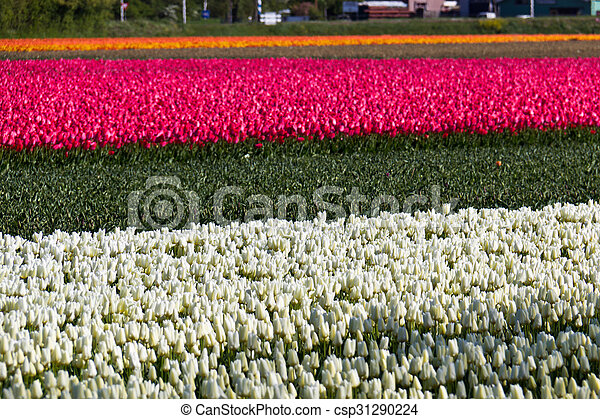 Row of tulips flowers on a farm in Holland - csp31290224