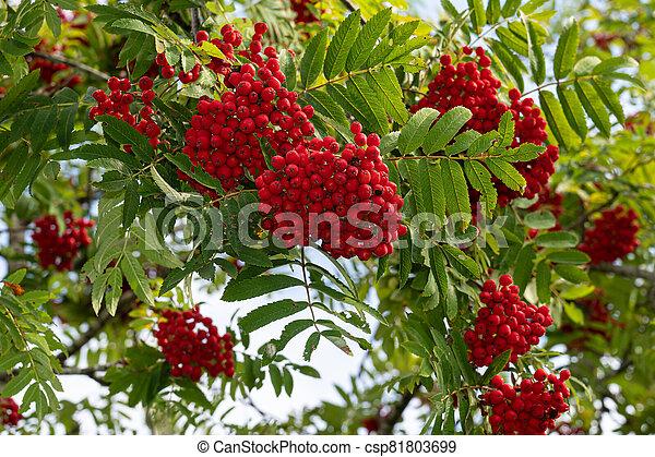 Rowan berries on a tree - csp81803699