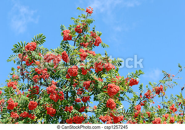 Rowan Tree with Berries  - csp1257245