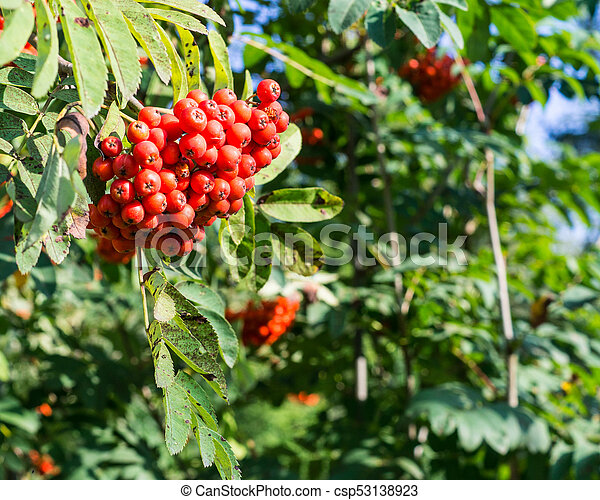 Rowan Tree With Red Berries At Autumn Background Nature Medical