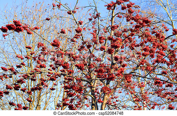 Rowanberry Tree With Red Berries At Autumn Rowanberry Tree