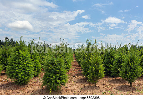 Oregon Christmas Trees.Rows Of Christmas Trees At Farm In Oregon
