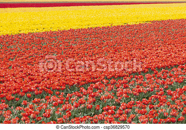 rows of colorful tulips in flower field in holland - csp36829570