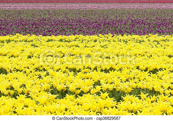 rows of colorful tulips in flower field in holland - csp36829587