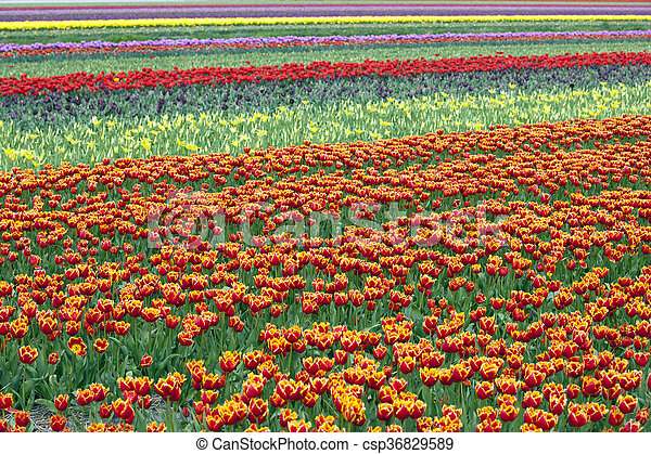 rows of colorful tulips in flower field in holland - csp36829589