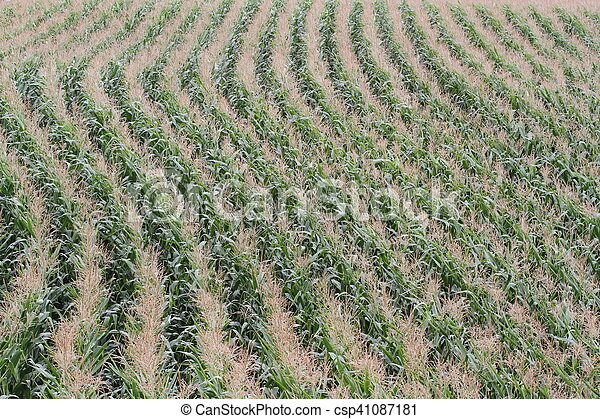 Rows of corn in a field - csp41087181