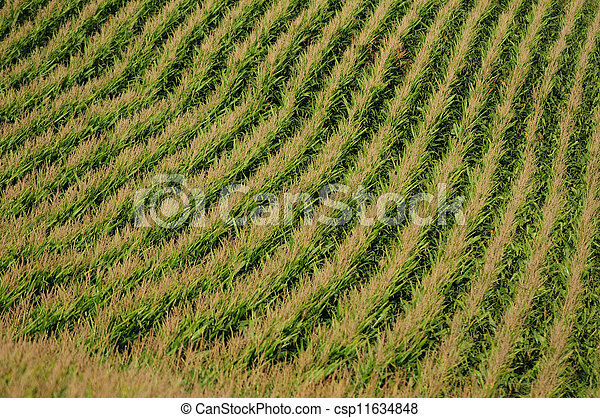 rows of corn on a farm for harvesting - csp11634848