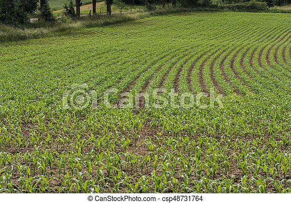 Rows of corn seedlings on a field - csp48731764