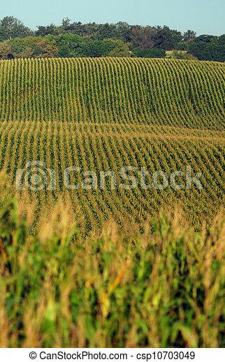Rows of cornstalks on a farm - csp10703049