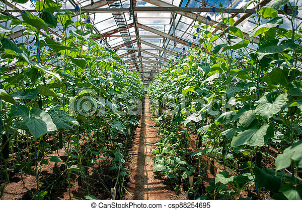 rows of cucumber in a greenhouse on an organic farm - csp88254695