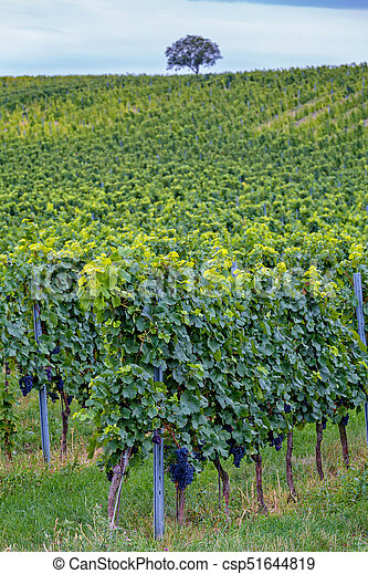 Rows of grapes before harvesting, Austria, Burgenland - csp51644819