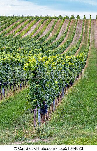 Rows of grapes before harvesting, Austria, Burgenland - csp51644823