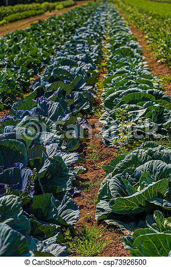 Rows of Kale and Cabbage at a Farm - csp73926500