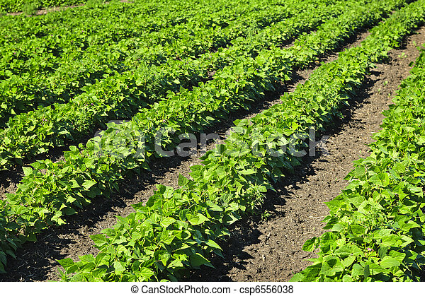 Rows of soy plants in a field - csp6556038
