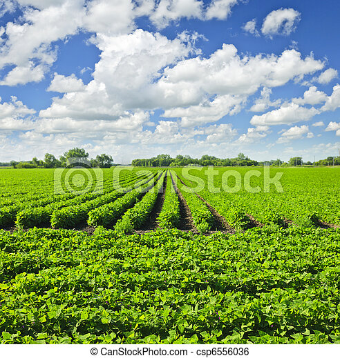 Rows of soy plants in a field - csp6556036