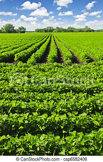 Rows of soy plants in a field - csp6582406