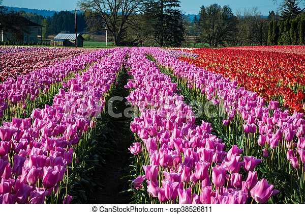 Rows of tulips at a flower farm - csp38526811