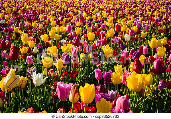 Rows of tulips at a flower farm - csp38526782