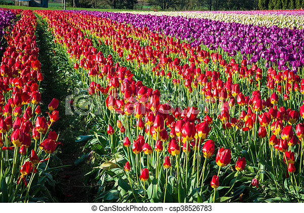 Rows of tulips at a flower farm - csp38526783