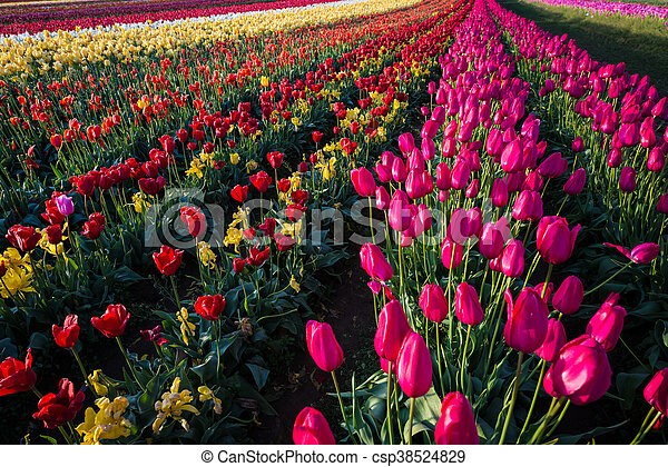 Rows of tulips at a flower farm - csp38524829