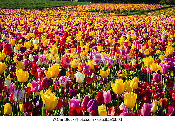 Rows of tulips at a flower farm - csp38526808