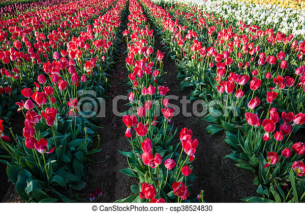 Rows of tulips at a flower farm - csp38524830
