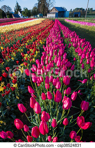 Rows of tulips at a flower farm - csp38524831