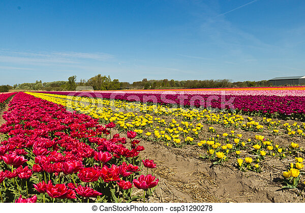Rows of tulips on a flower farm in Holland - csp31290278