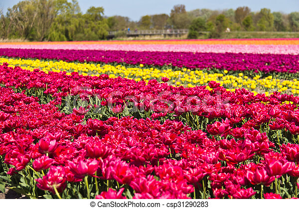 Rows of tulips on a flower farm in Holland - csp31290283