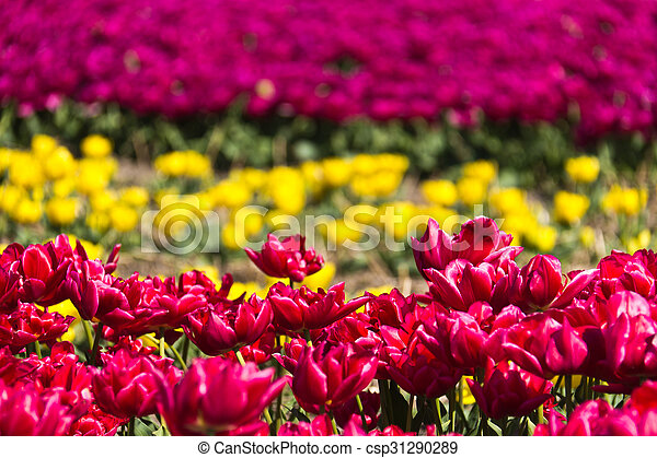 Rows of tulips on a flower farm in Holland - csp31290289