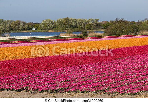 Rows of tulips on a flower farm in Holland - csp31290269