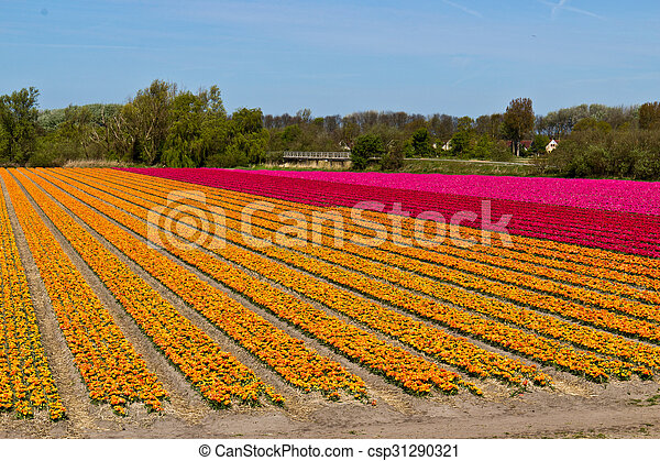 Rows of tulips on a flower farm in Holland - csp31290321